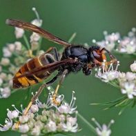 Asian_hornet_Vespa_velutina_Charles Sharp