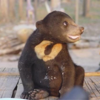Wild baby Sunbear Helarctos malayanus illegally caught in Lao PDR. Photo: J. Phelps
